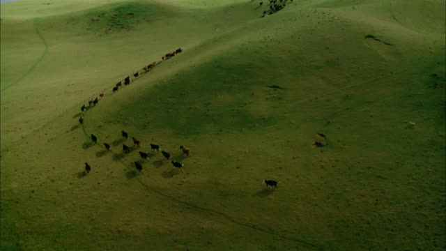Aerial over herd of cows and flock of sheep running across pasture / New Zealand