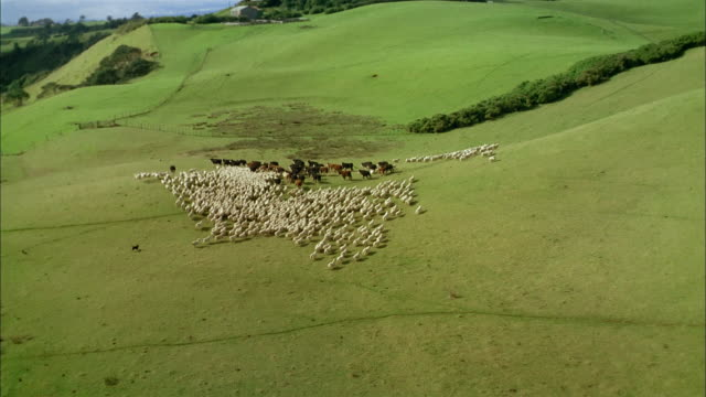 Aerial over herd of cows and flock of sheep running across pasture / towards farmhouse / New Zealand