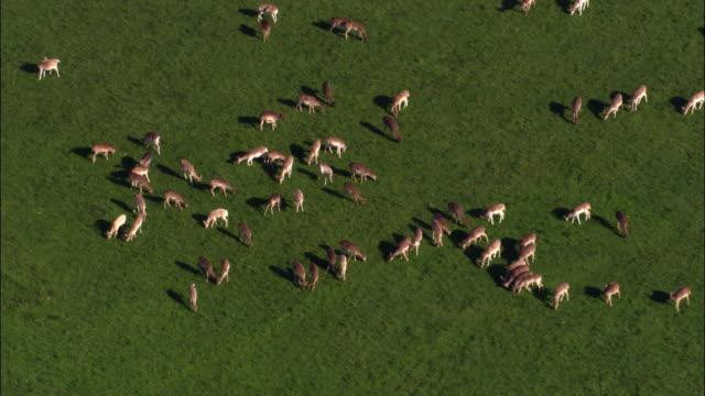 Aerial over herd of fallow deer (Dama dama) in Richmond Park, London, UK