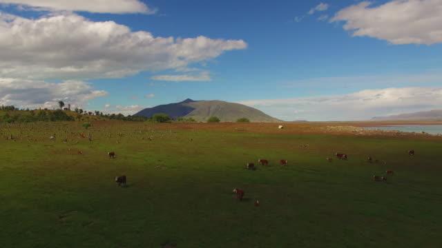 vídeos de stock, filmes e b-roll de aerial over herd of hereford cows at patagonia, argentina - américa do sul
