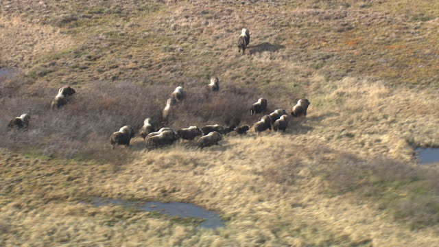 vidéos et rushes de aerial over herd of musk oxen (ovibos moschatus) on tundra, quebec, canada - troupeau