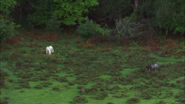 aerial over new forest ponies, hampshire, uk - hampshire england stock videos and b-roll footage