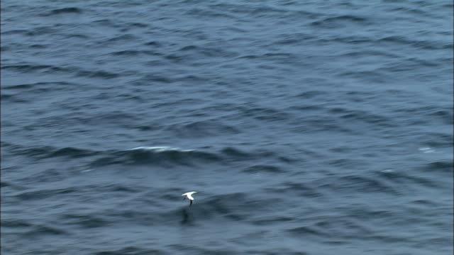 aerial over northern gannet (morus bassanus) flying over sea, scotland - northern gannet stock videos & royalty-free footage