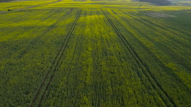 aerial over oilseed rape crop in field, uk - crop stock videos & royalty-free footage