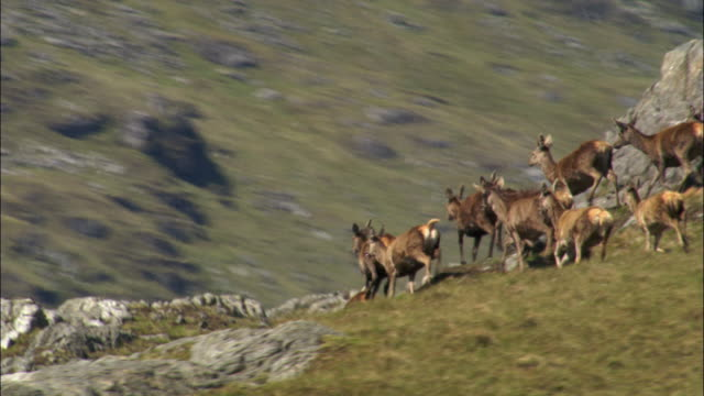 vídeos de stock e filmes b-roll de aerial over red deer (cervus elaphus) on isle of mull, scotland, uk - veado