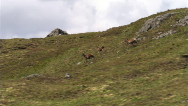 Aerial over red deer (Cervus elaphus) on Isle of Mull, Scotland, UK