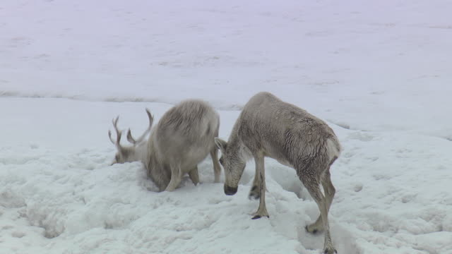 aerial over reindeer (rangifer tarandus) falling into deep snow, quebec, canada - deep snow stock videos & royalty-free footage