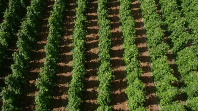 aerial over rows of runner bean crop in field, uk - runner bean stock videos & royalty-free footage
