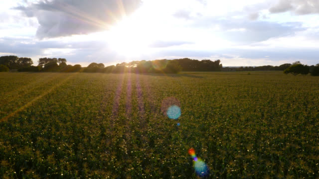 stockvideo's en b-roll-footage met aerial over rows of sweetcorn in field at sunset, uk - schemering