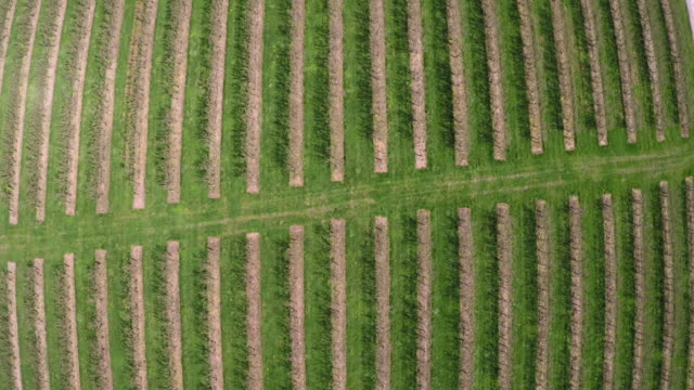 aerial over rows of trees in apple orchard, uk - green stock videos & royalty-free footage