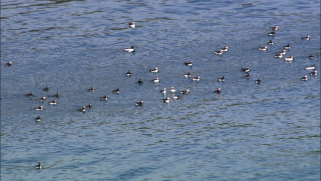 Aerial over swimming puffins (Fratercula arctica) in Outer Hebrides, Scotland, UK