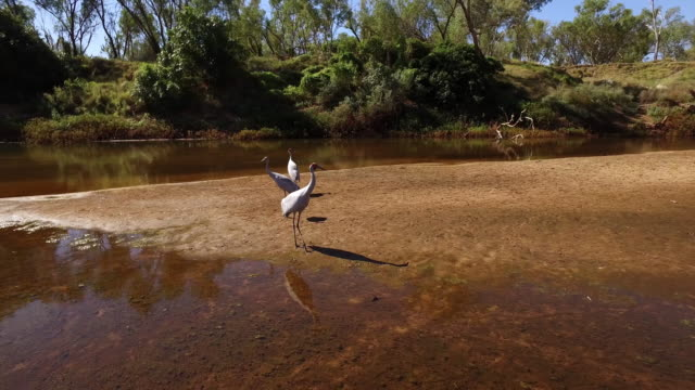 aerial over three brolgas wading in the fitzroy river - tiergruppe stock-videos und b-roll-filmmaterial