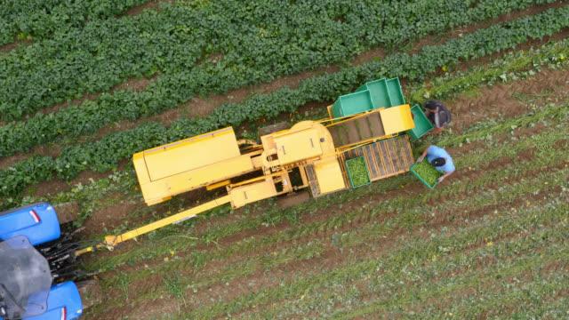 aerial over workers harvesting green bean crop, uk - green bean stock videos & royalty-free footage