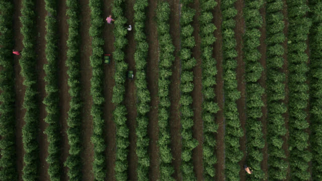 aerial over workers harvesting runner bean crop, uk - growth stock videos & royalty-free footage