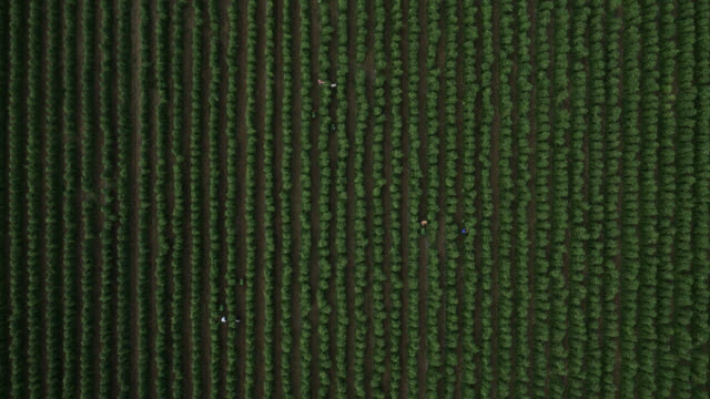 aerial over workers harvesting runner bean crop, uk - runner bean stock videos & royalty-free footage