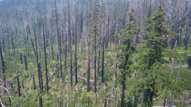 stockvideo's en b-roll-footage met aerial: pan up of pine fire damaged forest - oregon amerikaanse staat