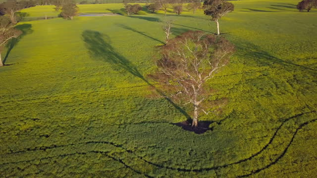 stockvideo's en b-roll-footage met aerial panning: bare tree with long shadow on green canola field - canowindra, australia - bare tree