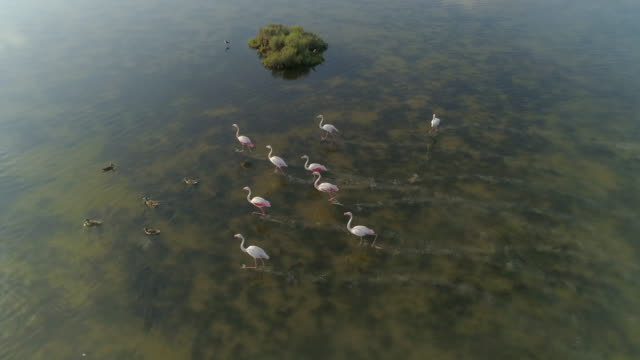 aerial panning shot of flamingos flapping wings while running in lake, drone flying forward over water on sunny day - camargue, france - flamingo bird stock videos & royalty-free footage