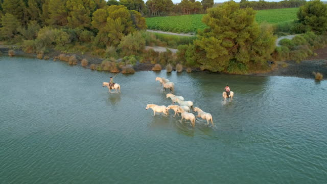 aerial panning shot of men with white horses in sea, drone is flying over ocean - camargue, france - camargue stock-videos und b-roll-filmmaterial