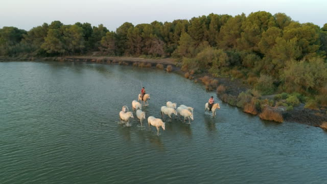 aerial panning shot of white horses and wranglers in sea, drone is flying over ocean by trees - camargue, france - walking in water stock videos & royalty-free footage
