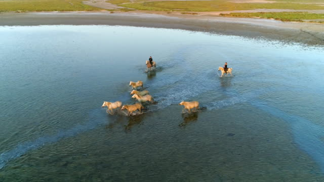 aerial panning shot of wranglers with horses running in sea during sunset, drone is circling over ocean - camargue, france - swimming video stock e b–roll