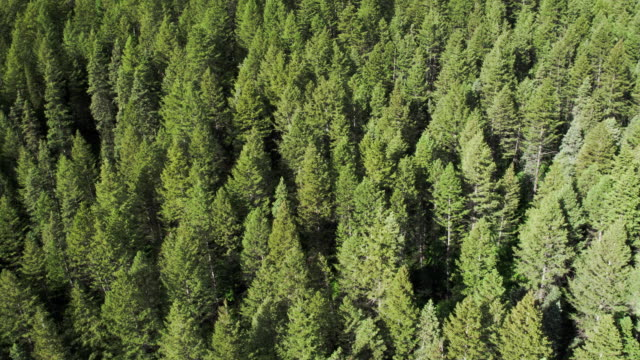 aerial panning view of pine tree forest. - coniferous stock videos and b-roll footage