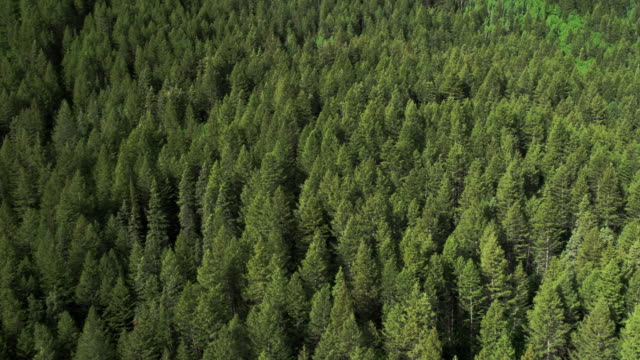 Aerial panning view of pine tree forest.