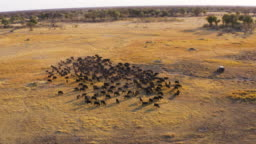 Aerial panning view of tourists in a 4x4 off-road safari vehicle watching a large herd of Cape buffalo grazing in the Okavango Delta, Botswana