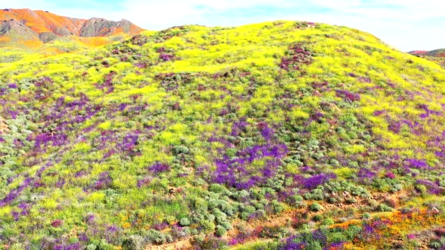 aerial panorama of poppy blooms - capolino video stock e b–roll