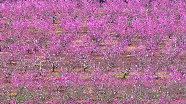 Aerial Peach trees in blossom in orchard in the Upper Galilee, Hula valley, Israel