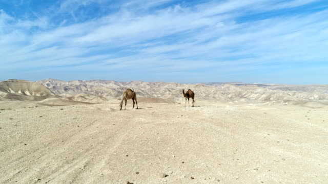 aerial photography- camels in the desert - camel stock videos & royalty-free footage