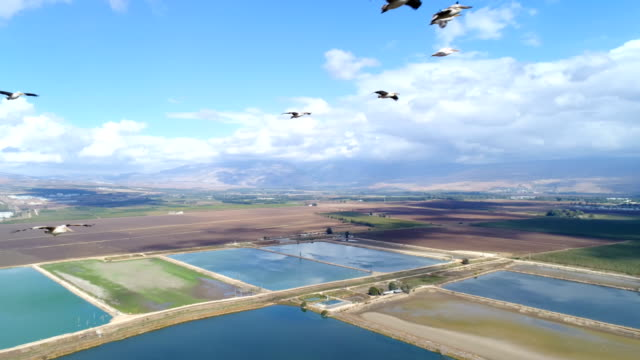 vídeos de stock e filmes b-roll de aerial photography - pelicans over the hula valley - pelicano