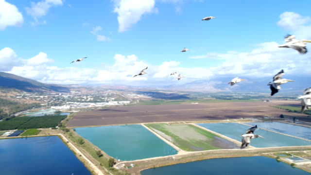 aerial photography - pelicans over the hula valley - pelican stock videos & royalty-free footage