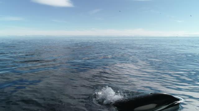 aerial pod of orcas in lofoten archipelago - killer whale stock videos & royalty-free footage