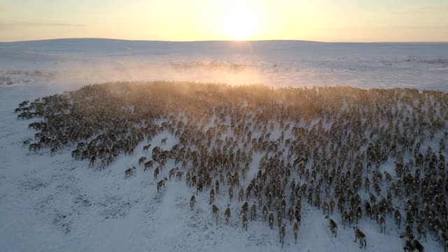 aerial, reindeer herd, sunset, dolly In, looking forward, almost tracking the animals