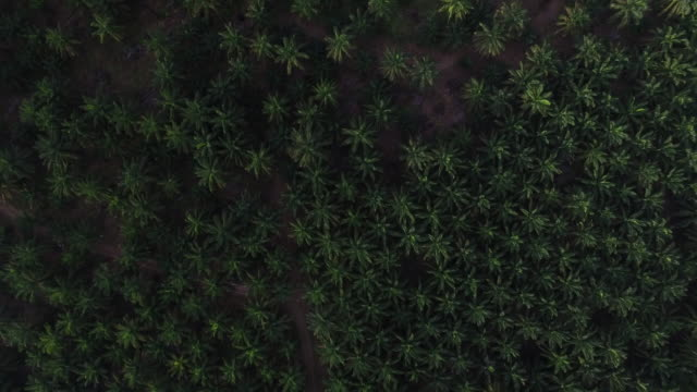 aerial reveal of scale of palm oil plantation - palm tree stock videos & royalty-free footage