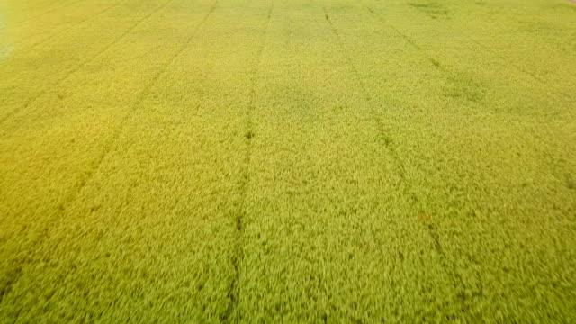 luftreis grüne wiese - cereal plant stock-videos und b-roll-filmmaterial