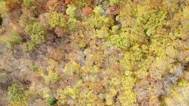 aerial rising directly over a bright autumn landscape of fall foliage trees with vibrant warm colors - conway, new hampshire - カバノキ点の映像素材/bロール