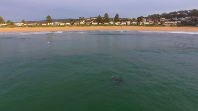 aerial: seals swimming at beautiful beach in north avoca, australia - seal stamp stock videos and b-roll footage