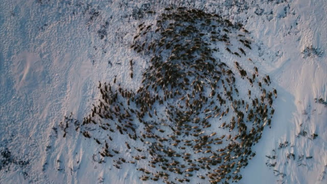 Aerial sequence showing a herd of reindeer in Kamchatka, Russia.