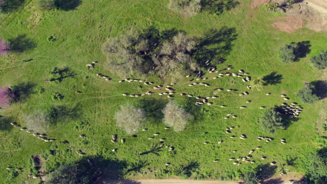 aerial: sheep herding in lachish countryside - herding stock-videos und b-roll-filmmaterial