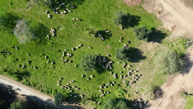 aerial: sheep in lush green field - lachish, israel - herding stock-videos und b-roll-filmmaterial