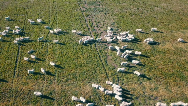 aerial sheep on green fields in top view - pasture stock videos & royalty-free footage