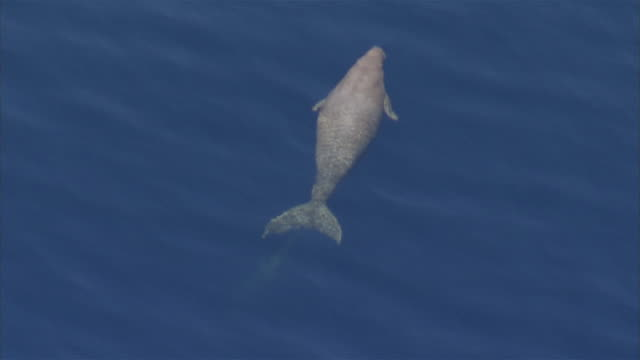 aerial shot; a dugong slowly moving through the water - dugongo video stock e b–roll