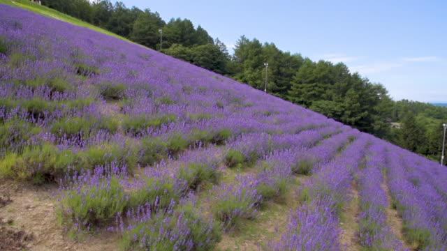 aerial shot blooming lavender flower field, hokkaido japan - hokkaido stock videos & royalty-free footage