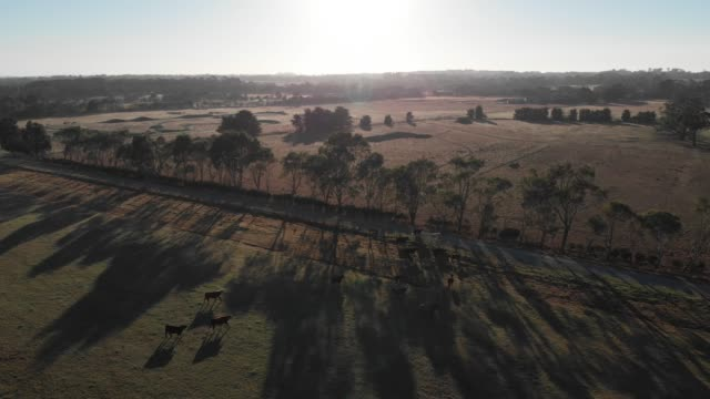 4k aerial shot drifting away from a small herd of cattle in the early morning light, a low sun blazing above - tree hugging stock videos & royalty-free footage