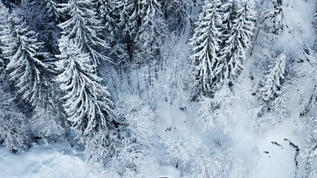 Aerial shot flying over snow covered evergreen trees