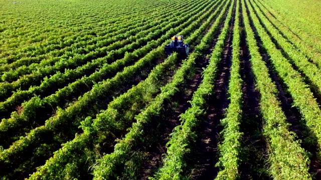 Aerial Shot  Harvesting Wine Grapes in Vineyard