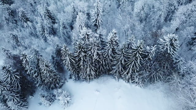 Aerial shot looking down on snow covered pine trees
