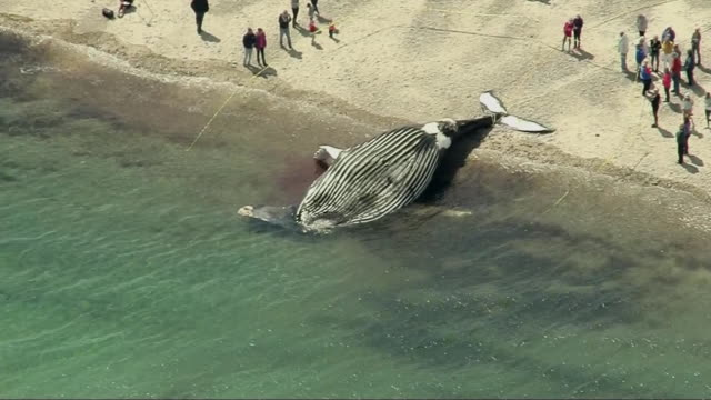 aerial shot of a beached whale in sandwich, massachusetts on may 7, 2019. - gestrandet stock-videos und b-roll-filmmaterial